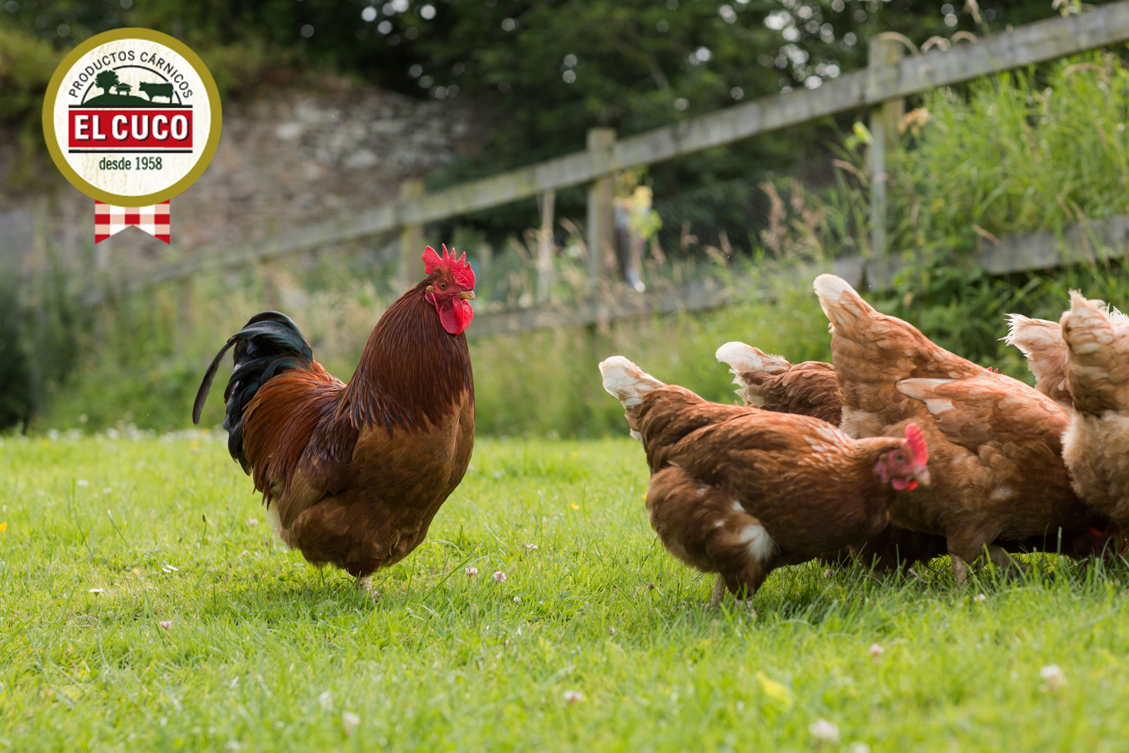 gallinas frescos cuco